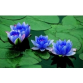 Lotus Flower Seeds 5